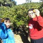 Citrus picking at San Anton